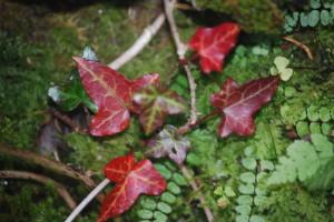 Burren Ivy